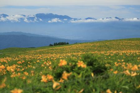霧ヶ峰高原に咲くニッコウキスゲは黄色いジュウタン!