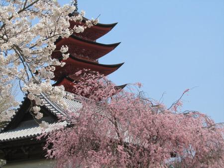 春の宮島は桜が満開の見ごろ!
